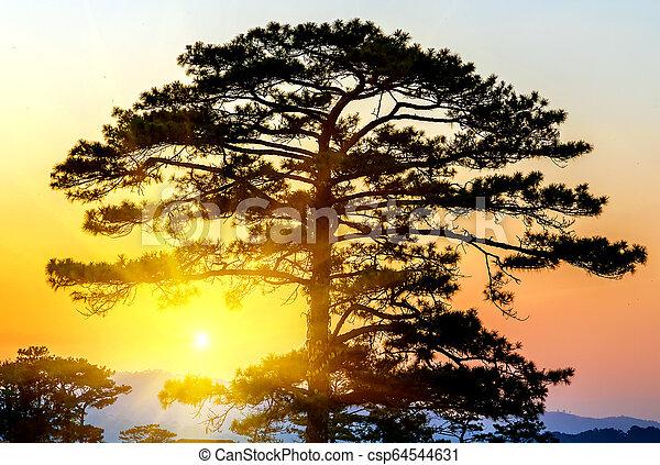 Pine Trees silhouettes Sunrise - csp64544631