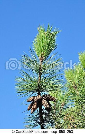 Pine trees - csp18501253
