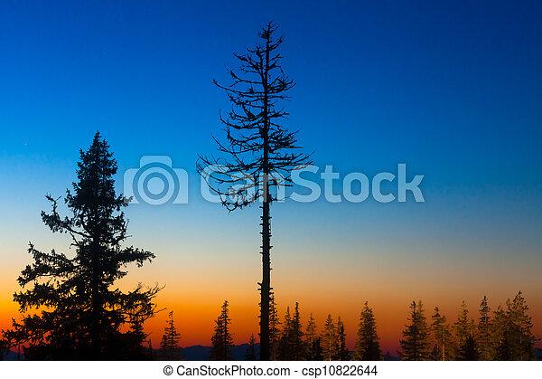 pine trees - csp10822644