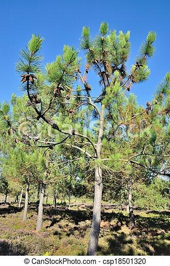 Pine trees - csp18501320