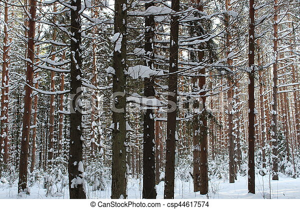 Pine trunks in winter forest - csp44617574