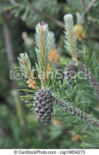 pine with pine cone - csp19834273