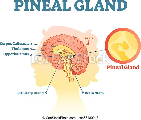 Pineal gland anatomical cross section vector illustration diagram pineal gland anatomical cross section vector illustration diagram with human brains medical information poster ccuart Gallery