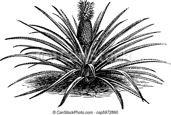 Pineapple, ananassa sativa or ananas comosus old vintage engraving. - csp5972860