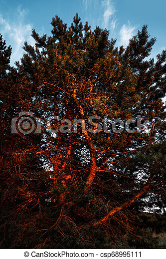 Pines in the rays of the evening sunset - csp68995111