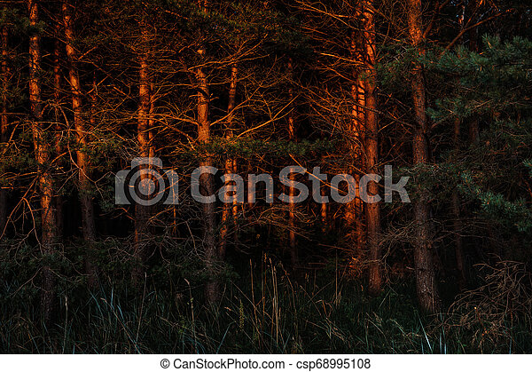 Pines in the rays of the evening sunset - csp68995108