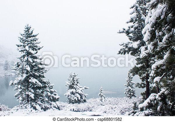 Pines under snow in winter forest - csp68801582