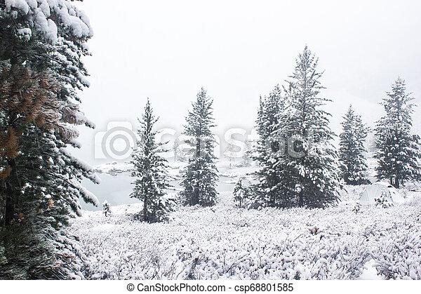 Pines under snow in winter forest - csp68801585