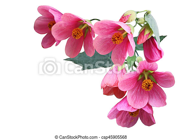 Pink Abutilon Hybridum Flower Pink Abutilon Hybridum Plarlour Maple