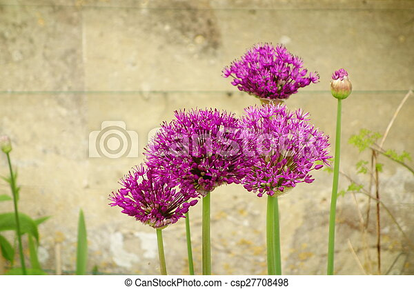 Pink alliums pink allium flowers in front of bath stone stock pink alliums csp27708498 mightylinksfo Image collections