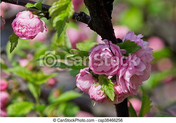 Pink almond bush with flowers closeup pink almond bush csp38466256 mightylinksfo