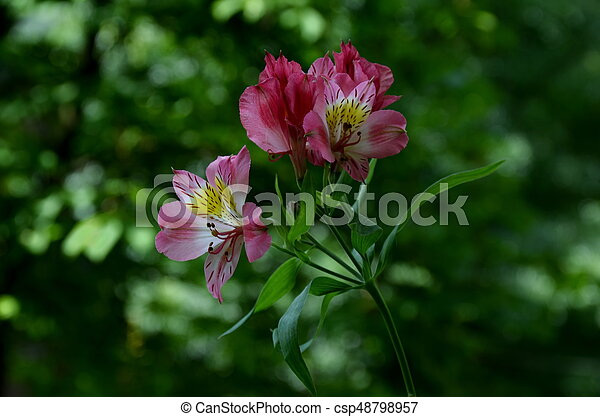 Pink alstroemeria flowers in the green natural background - csp48798957
