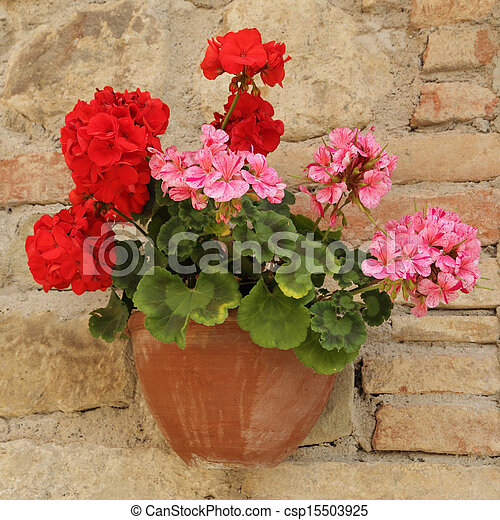Pink And Red Geranium Flowers In Pot Wall Pink And Red