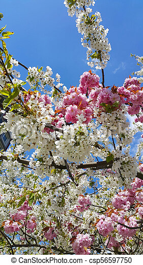 Pink And White Flowers Of Spring Cherry Trees Against The Blue Sky