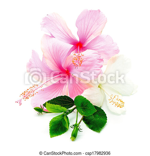 Pink And White Hisbiscus Colorful Pink And White Hibiscus Flower