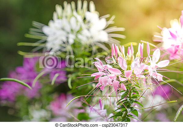 Pink and white spider flower cleome hassleriana in the stock pink and white spider flower cleome hassleriana in the garden csp23047317 mightylinksfo