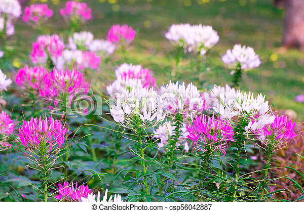 Pink and white spider flower cleome hassleriana isolate in spring pink and white spider flower cleome hassleriana isolate in spring summer after raining in the morning technical cost up mightylinksfo