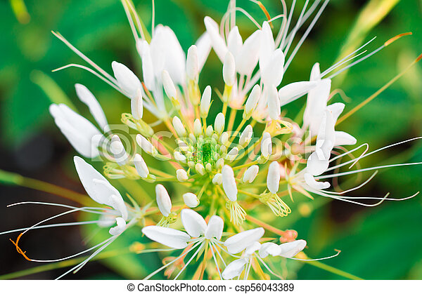 Pink and white spider flower cleome hassleriana isolate in pink and white spider flower cleome hassleriana isolate in spring summer after raining in the mightylinksfo