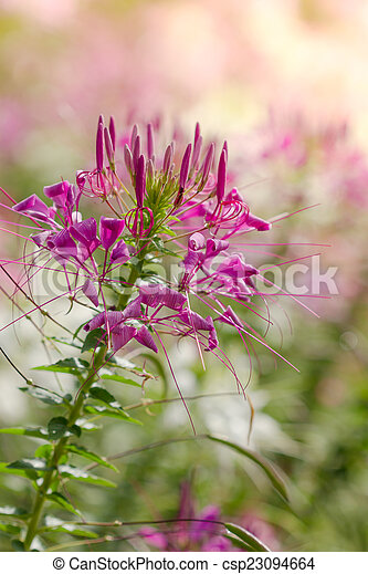 Pink and white spider flower cleome hassleriana in the stock pink and white spider flower cleome hassleriana in the garden csp23094664 mightylinksfo