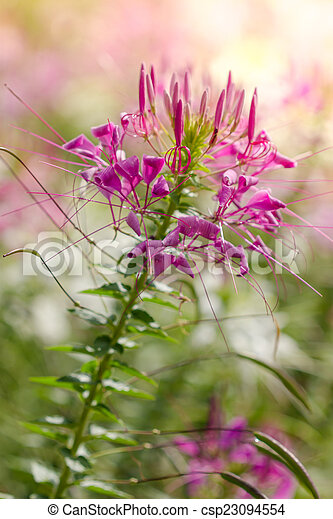 Pink And White Spider Flower Cleome Hassleriana In The Garden
