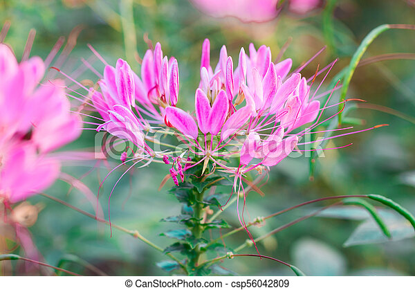 Pink And White Spider Flower Cleome Hassleriana Isolate In Spring
