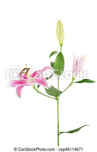 Pink And White Stargazer Lily On White Pink Stargazer Lily Stem