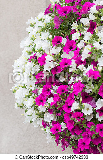 Pink and white surfinia flowers detail of wall mounted hanging pink and white surfinia flowers csp49742333 mightylinksfo