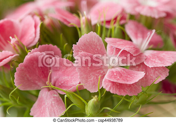 Pink and white sweet william like spring background outdoor pictures pink and white sweet william like spring background outdoor csp44938789 mightylinksfo
