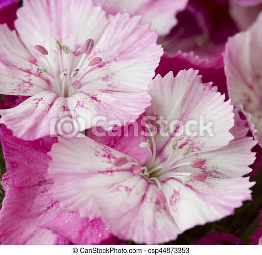 Pink and white sweet william like spring background outdoor pink and white sweet william like spring background outdoor csp44873353 mightylinksfo