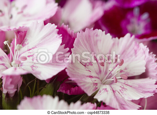 Pink and white sweet william like spring background outdoor pink and white sweet william like spring background outdoor csp44873338 mightylinksfo