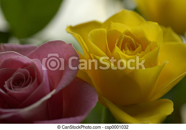 pink and yellow rose - csp0001032