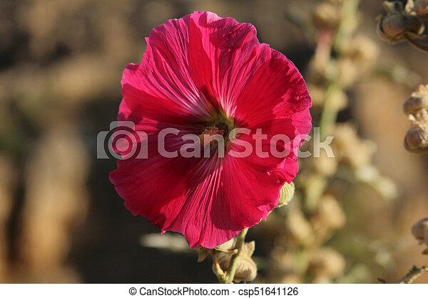 Pink angel trumpet flowers pink angel trumpet flowers csp51641126 mightylinksfo