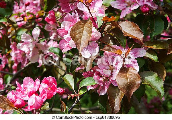 Pink Apple Flowers Flowering Trees In Spring Pink Flowers On