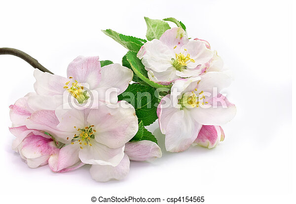 pink apple-tree flowers isolated with green leafs on branch - csp4154565