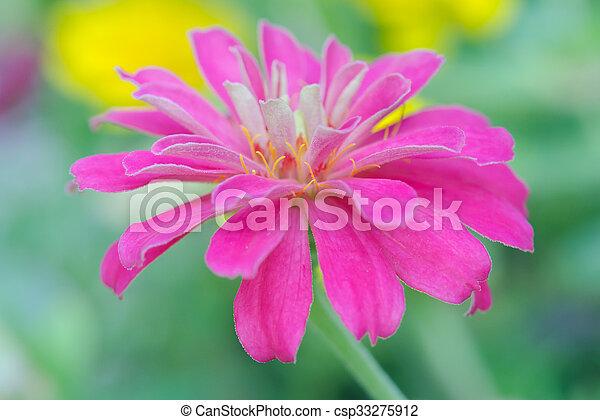 Pink aster flower in rama 9 local name national garden stock pink aster flower in rama 9 local name national garden bangkok thailand mightylinksfo