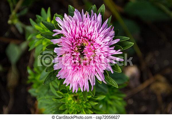 Pink aster flower on flowerbed in garden - csp72056627