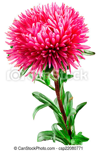 Pink aster flower on a white background pink aster flower csp22080771 mightylinksfo