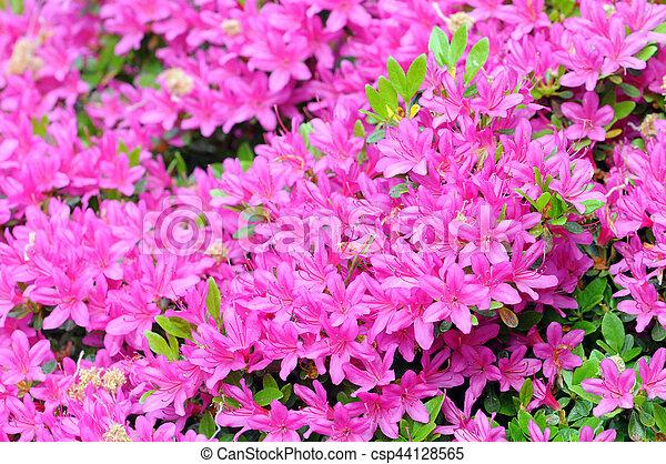 Pink azalea bush blossom in springtime pink azalea bush blossom in springtime csp44128565 mightylinksfo
