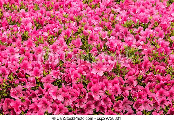 Pink Azalea Flowers Background