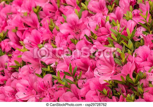 Pink azalea flowers in bloom stock image search photos and photo pink azalea flowers in bloom csp29728762 mightylinksfo