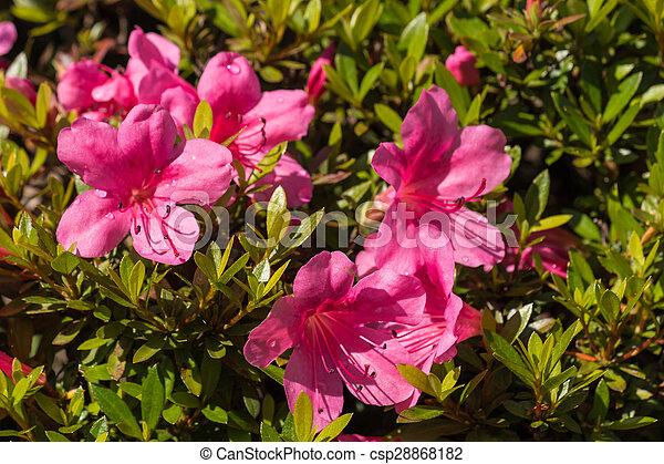 Close up of pink azalea flowers in bloom pink azalea flowers csp28868182 mightylinksfo