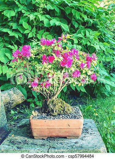 Pink Azalea Rhododendron Bonsai Plant In The Garden Pink Flowering Azalea Bonsai Tree In A Pot In Botanical Garden Canstock