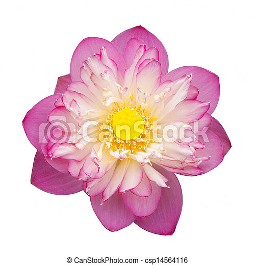 Pink Beautiful Lotus Flower Buddhist Religious Symbol