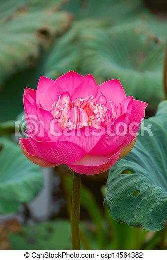 Pink beautiful lotus flower buddhist religious symbol mightylinksfo