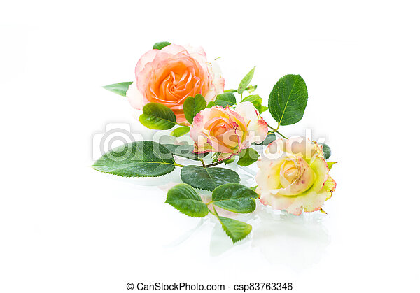 pink beautiful summer roses on white background - csp83763346