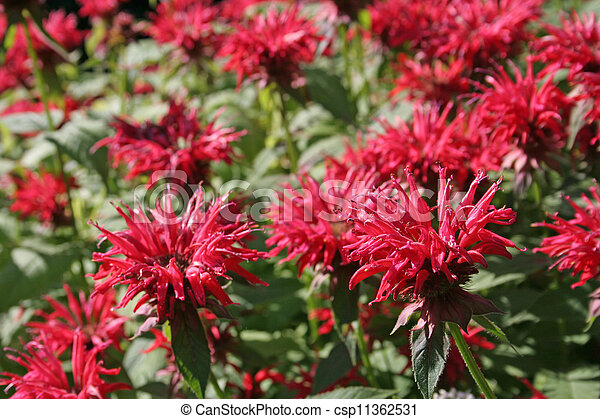Pink Bee Balm (Monarda) - csp11362531
