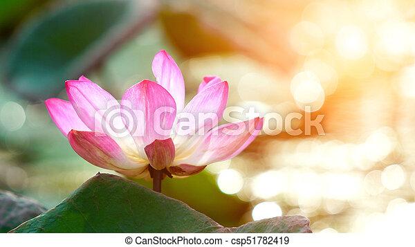 Pink bloom lotus flower in water pond garden decoration (Lotus used to worship) - csp51782419