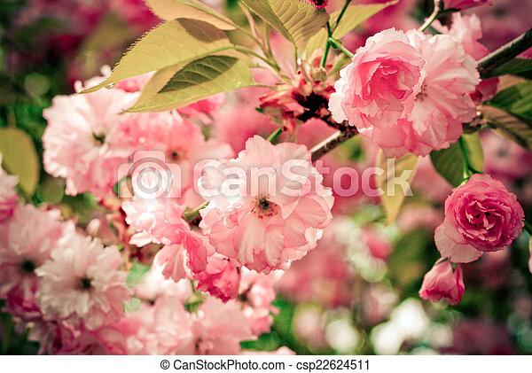 Pink Blooms - csp22624511