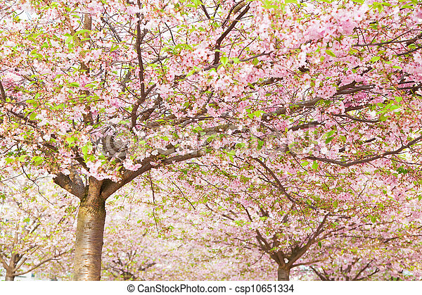 pink blossom in spring  - csp10651334