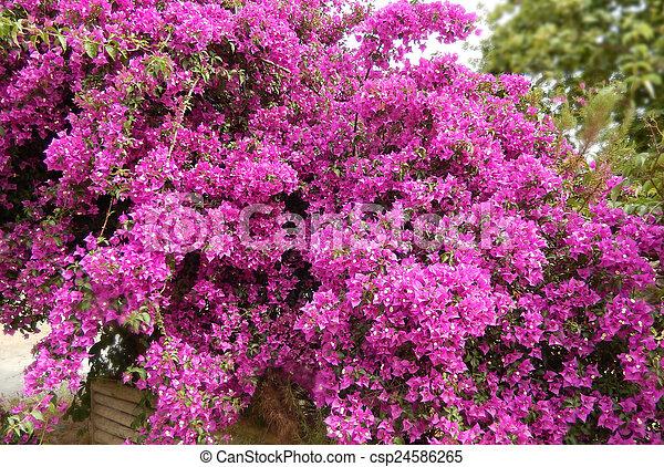 Pink bougainvillea bush bougainvillea bush background with blooming pink bougainvillea bush csp24586265 mightylinksfo